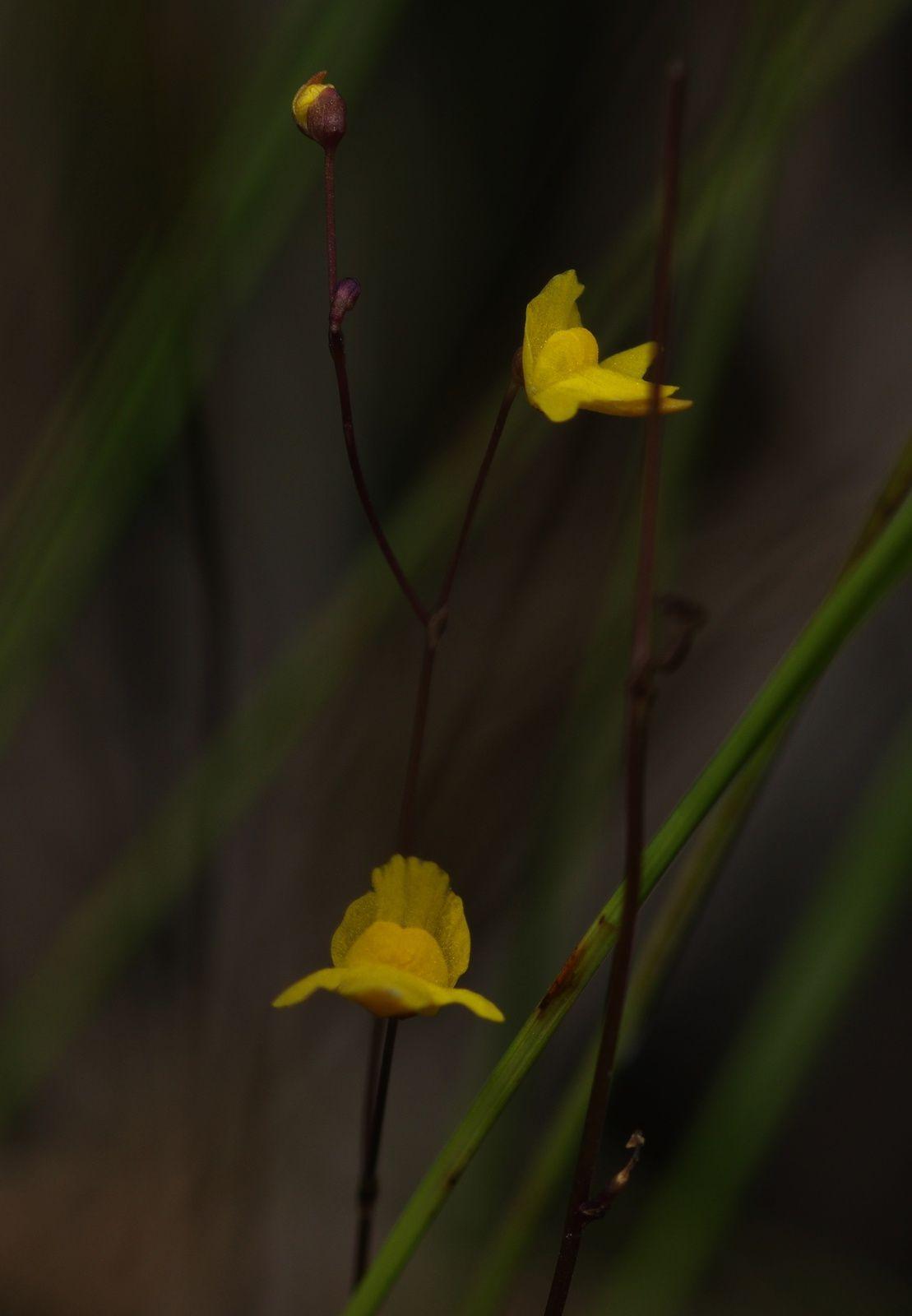 Utricularia sp1 (Utricularia trichophylla ?)