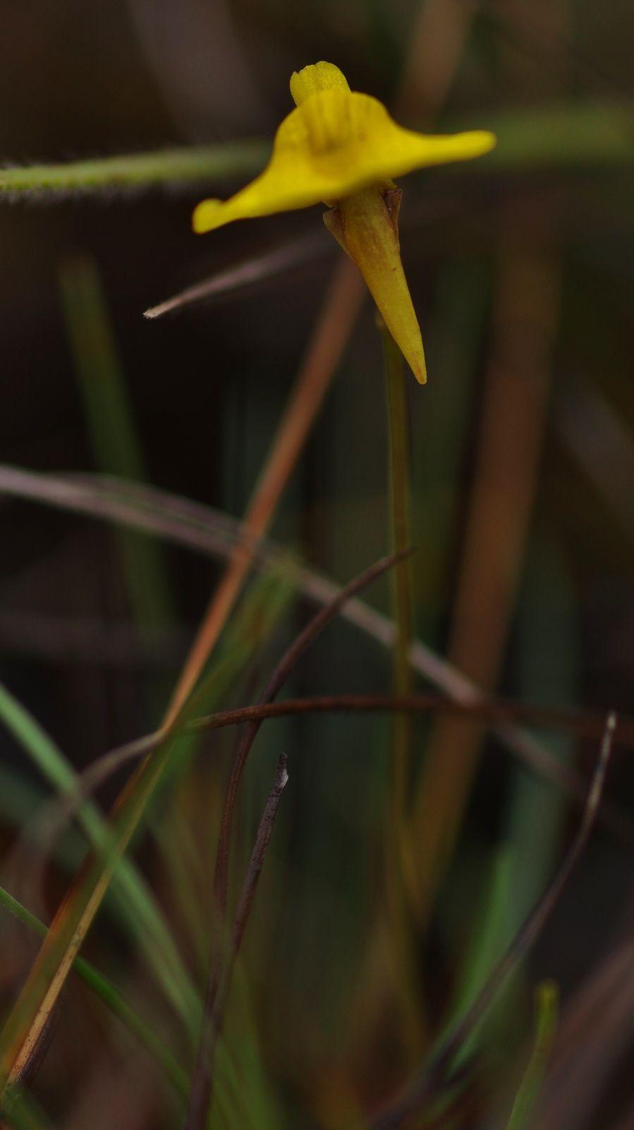 Utricularia nana