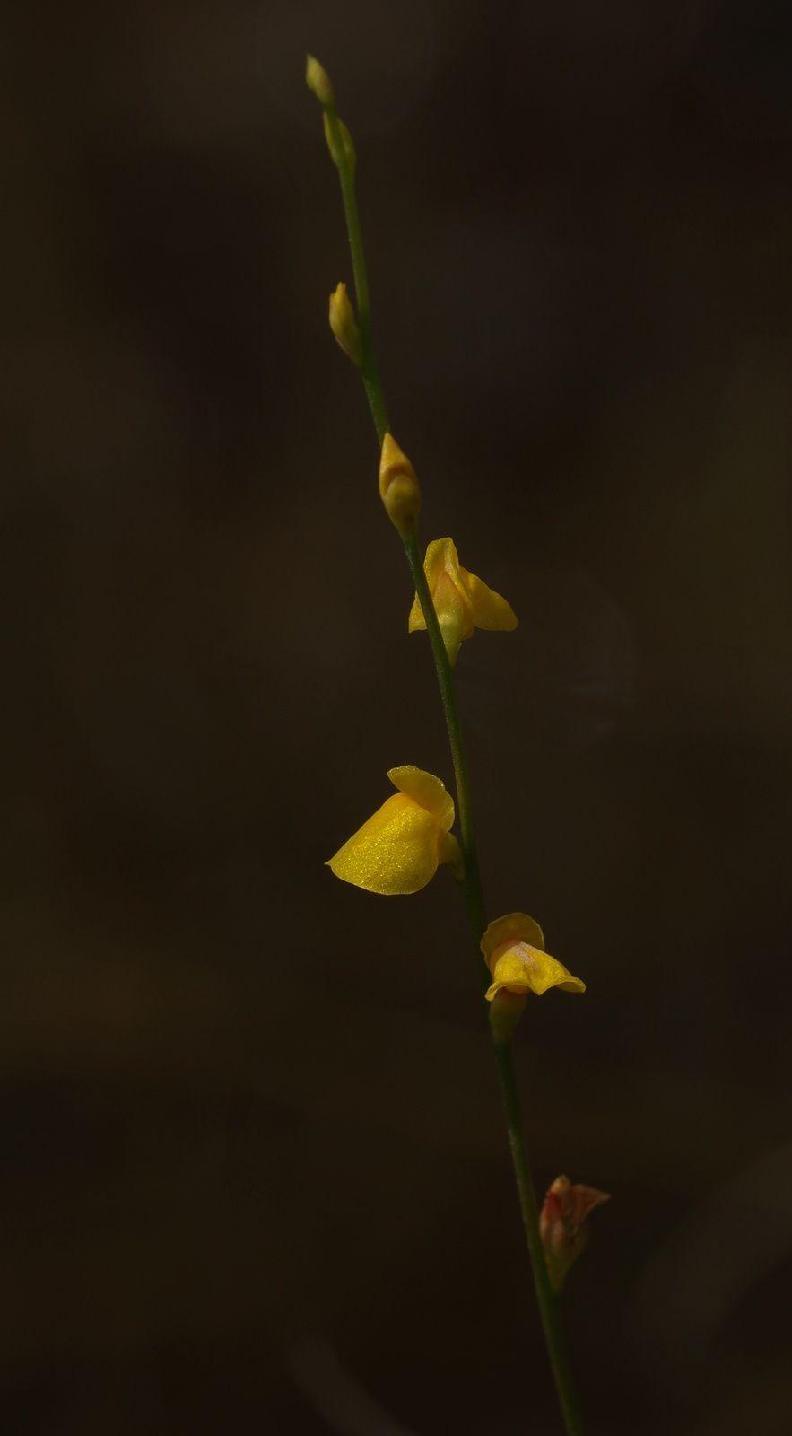 Utricularia guyanensis