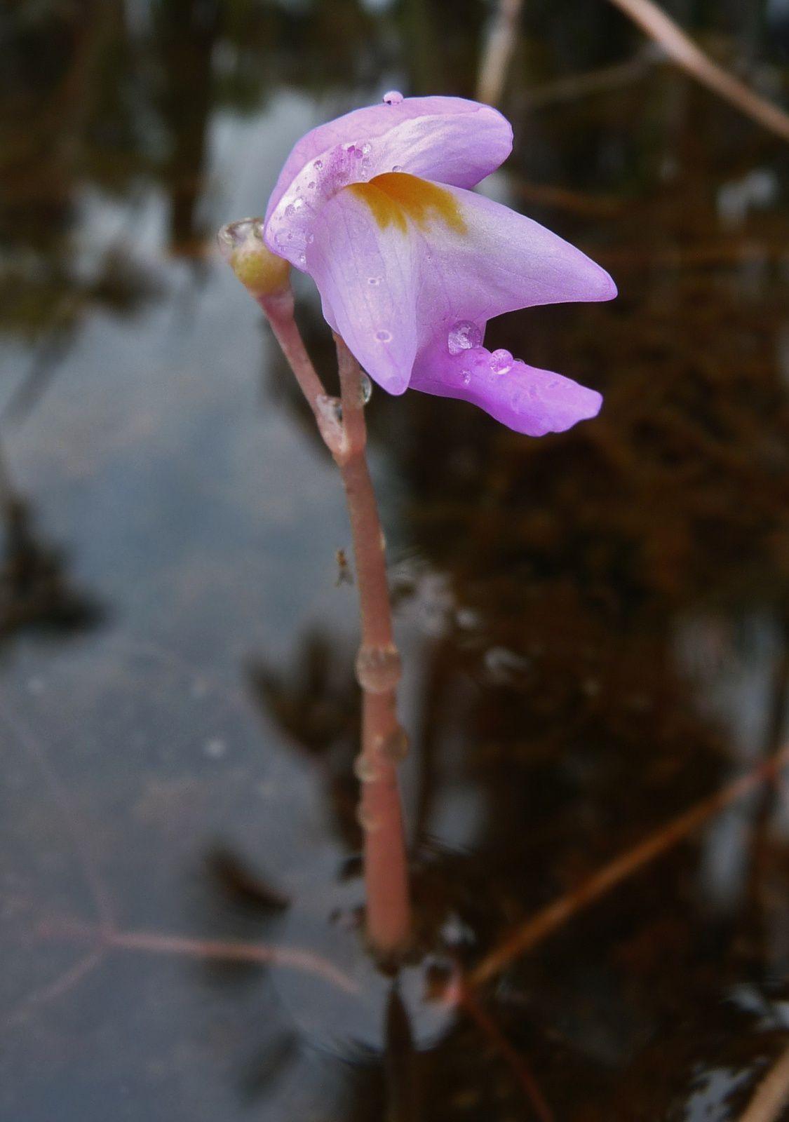 Utricularia myriocista