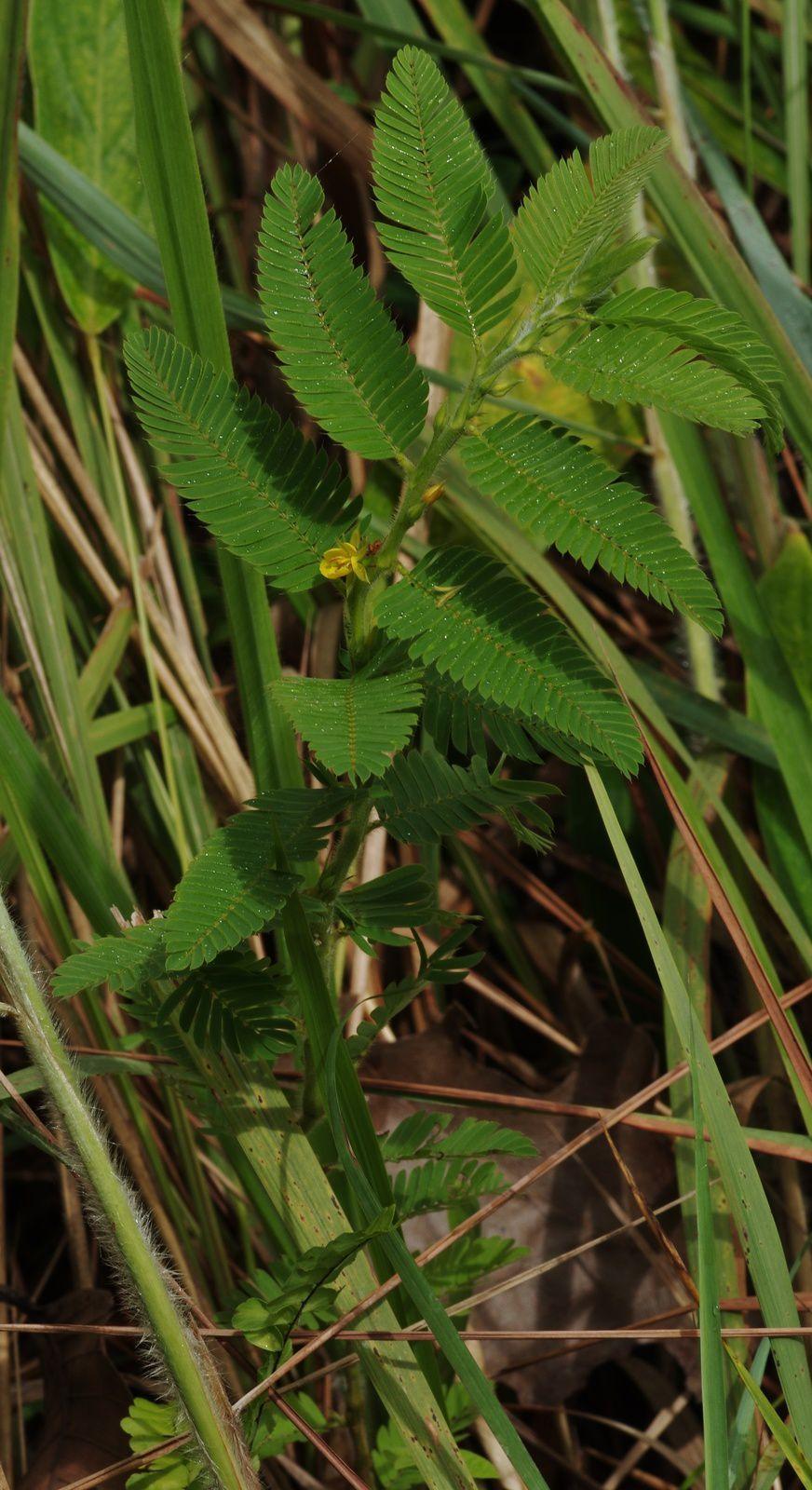 Chamaecrista nictitans subsp. patellaria var. ramosa ?