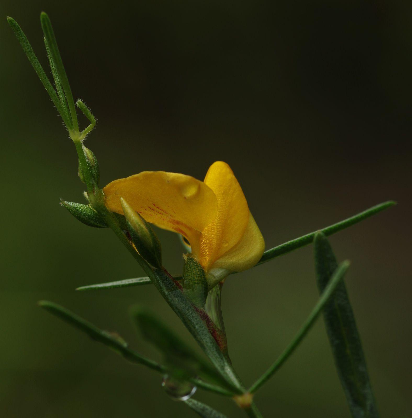 Zornia guanipensis