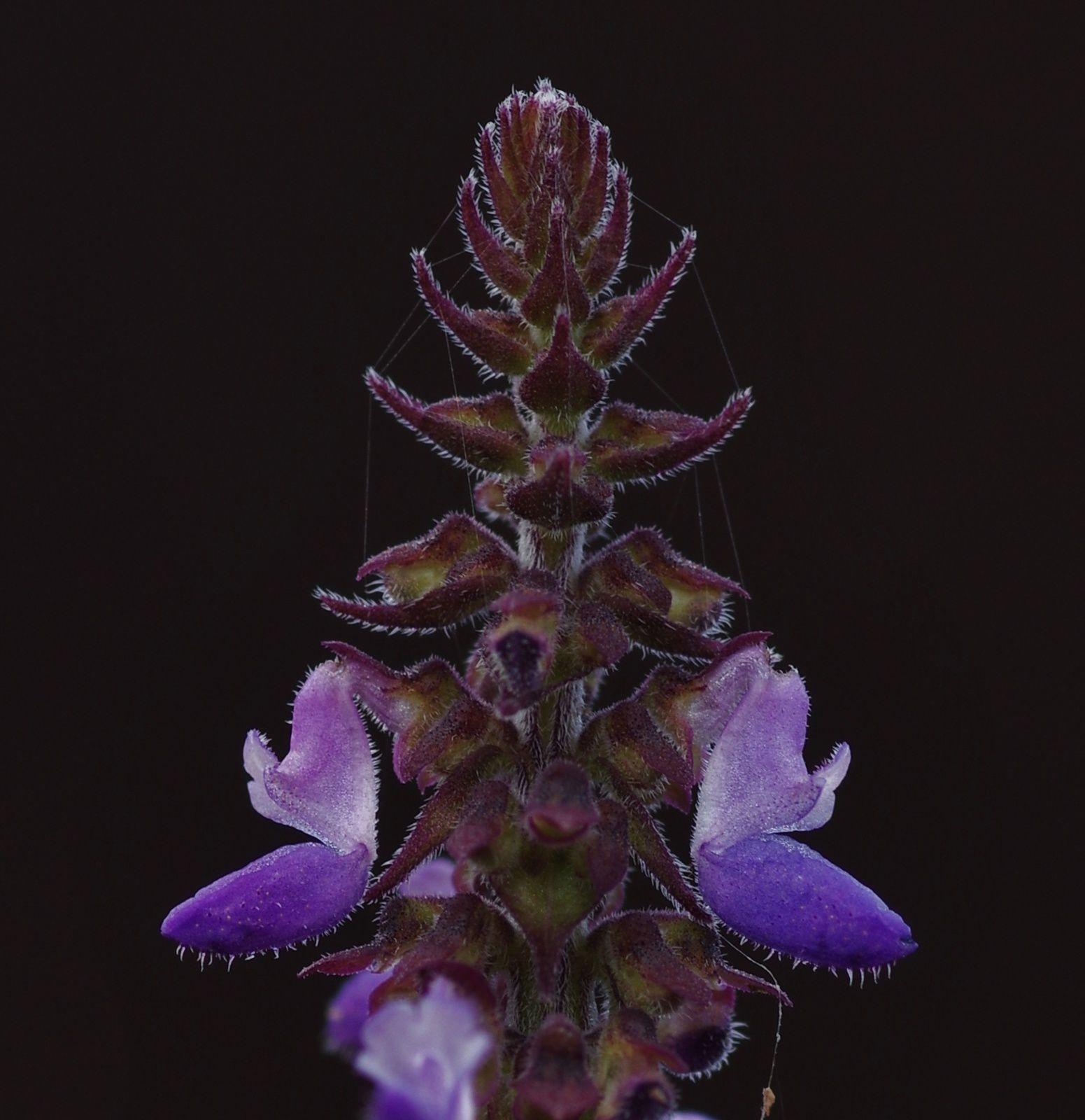 Plectranthus monostachyus