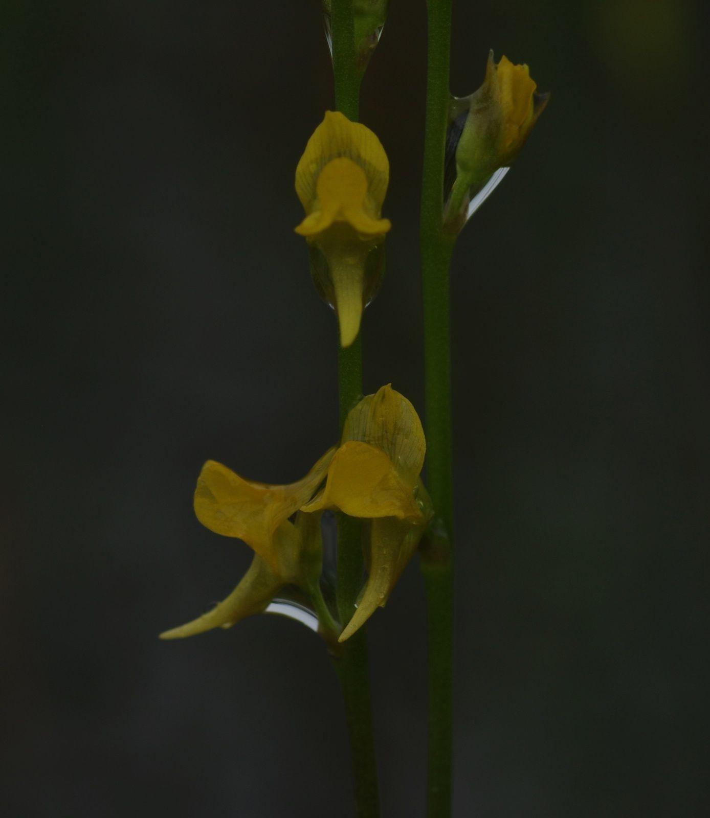Utricularia erectiflora