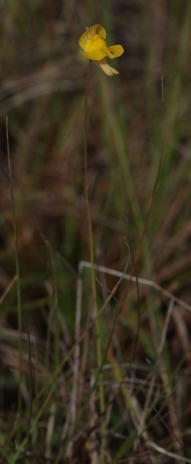 Utricularia hispida