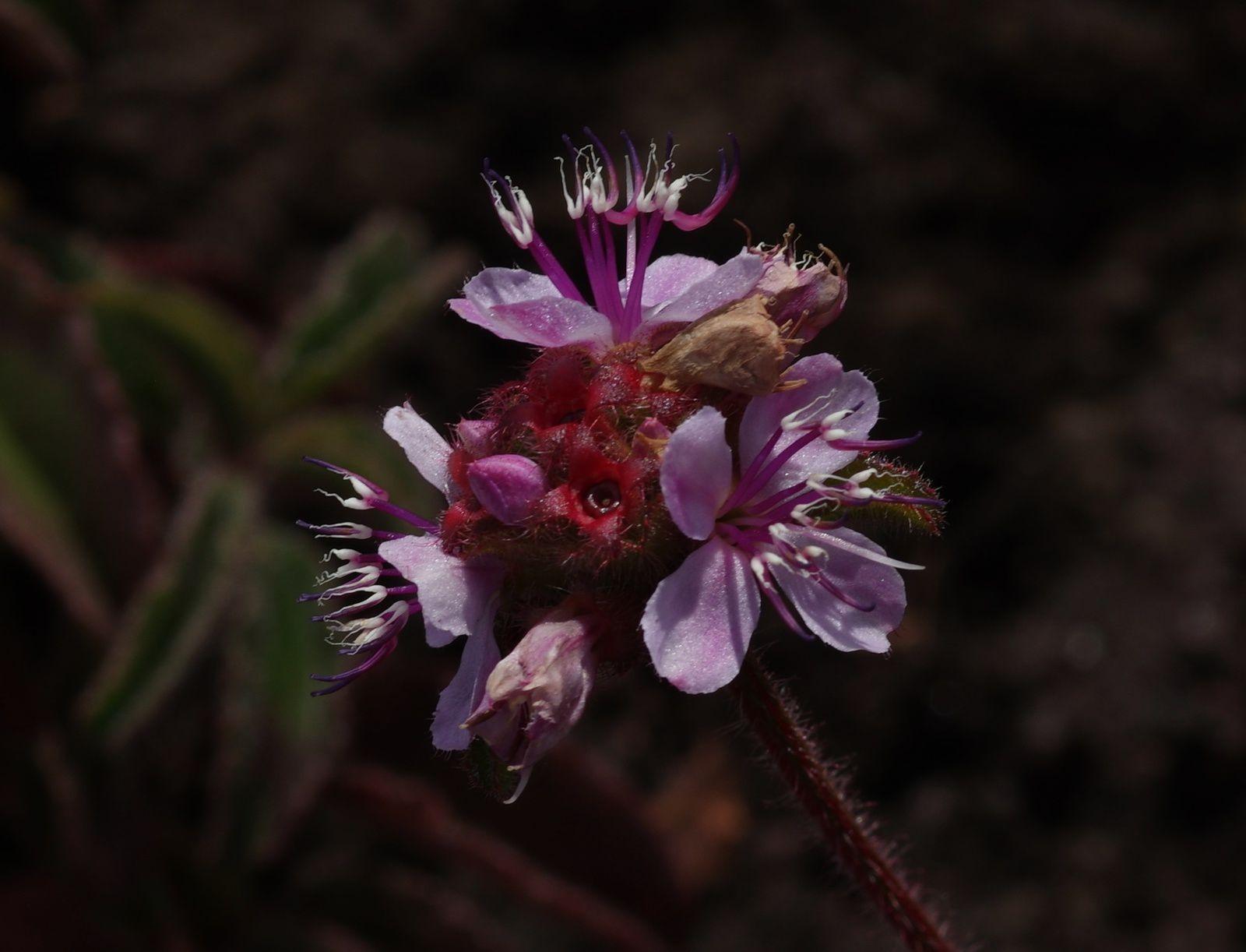 Ernestia confertiflora