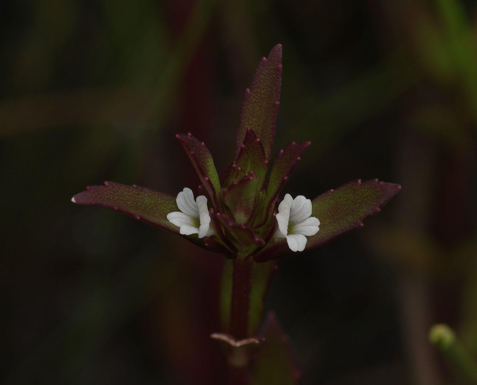 Bacopa sessiliflora