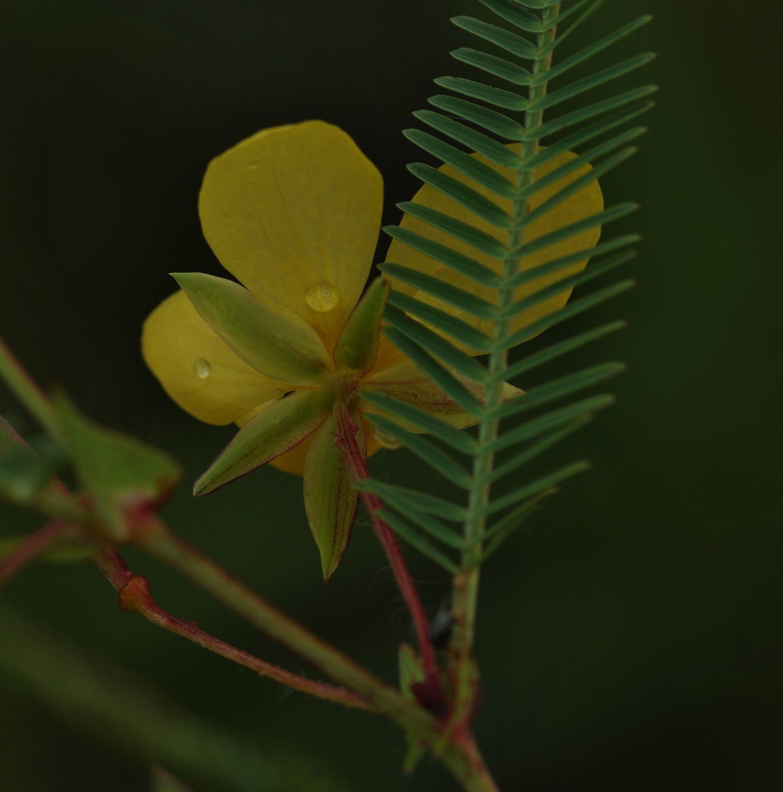 Chamaecrista flexuosa