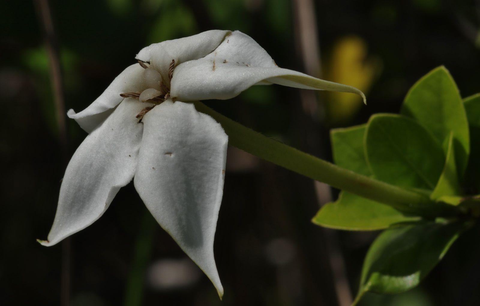 Rosenbergiodendron densiflorum