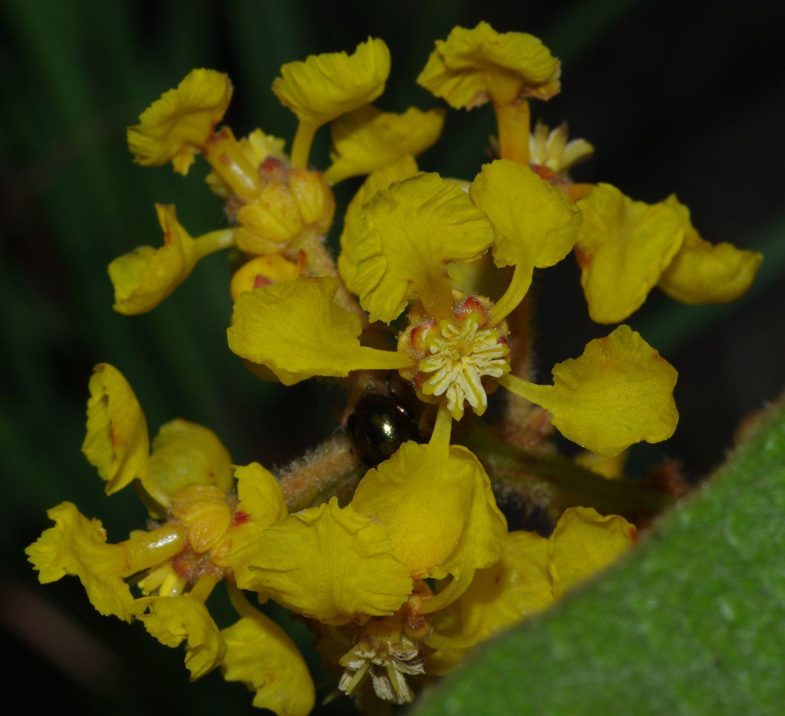 Byrsonima verbascifolia (oreilles d'âne)