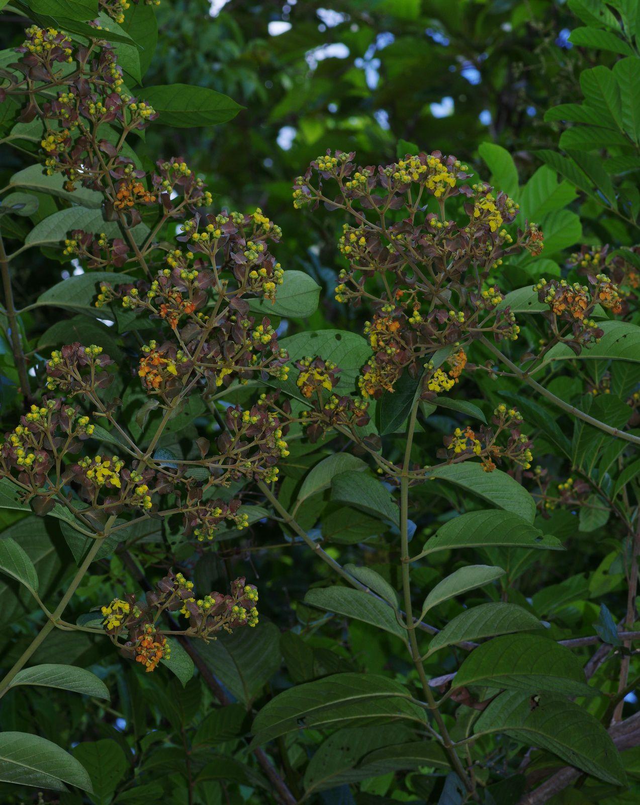 Tetrapterys calophylla