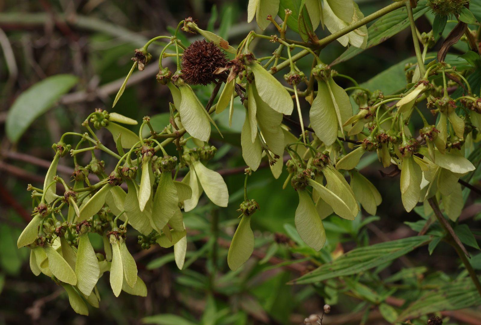 Banisteriopsis martiniana