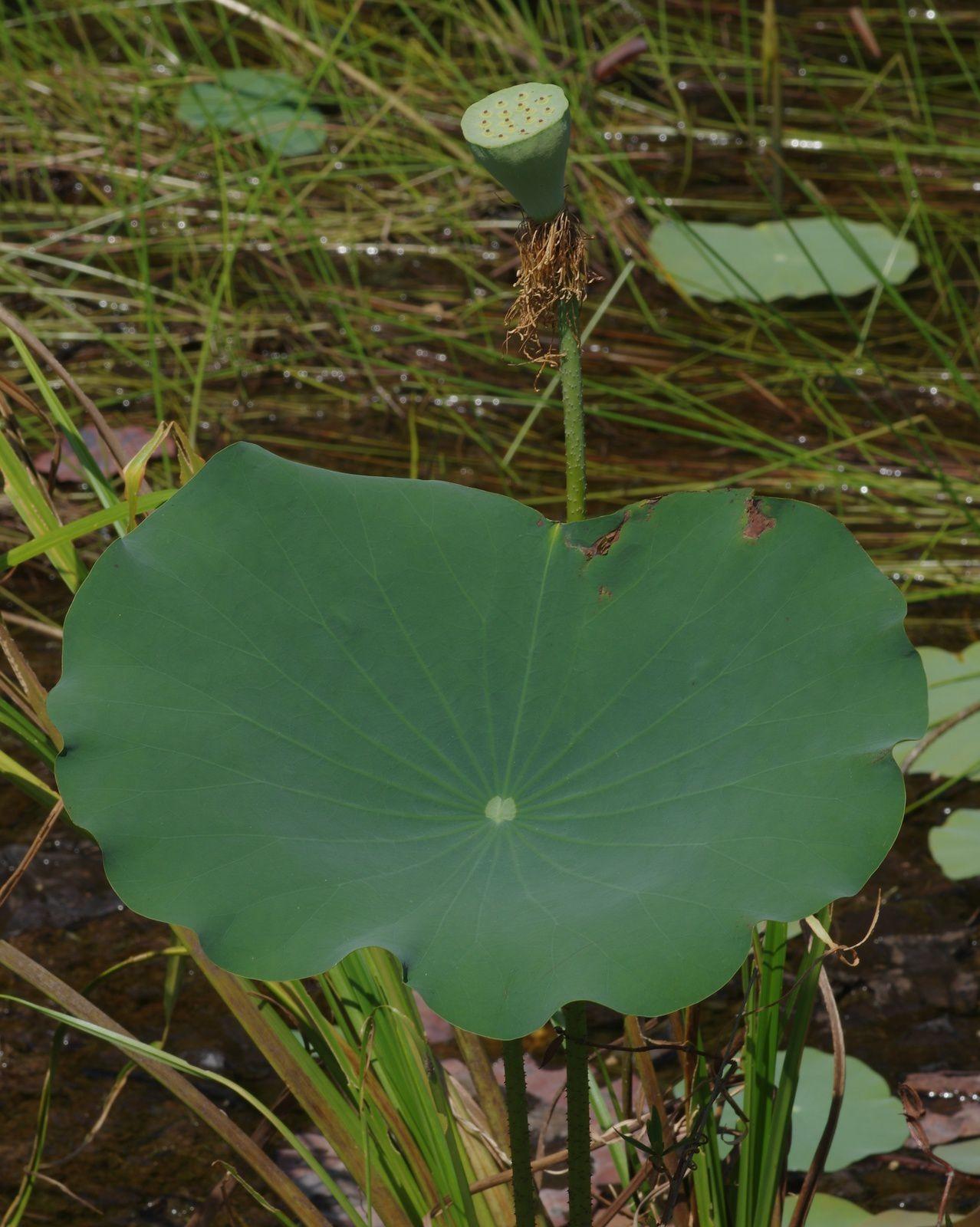 Nelumbo nucifera (lotus sacré, lotus d'Orient)