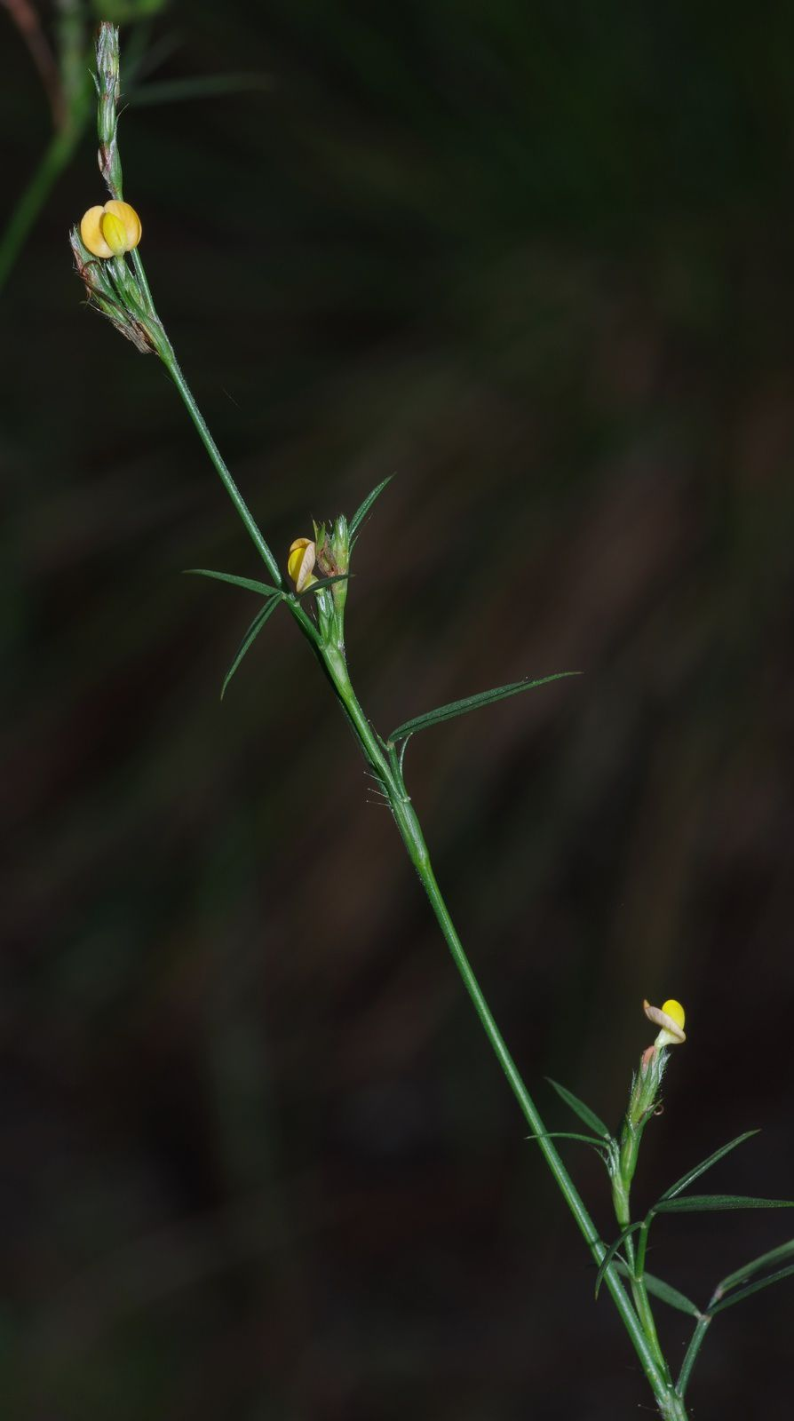 Stylosanthes angustifolia