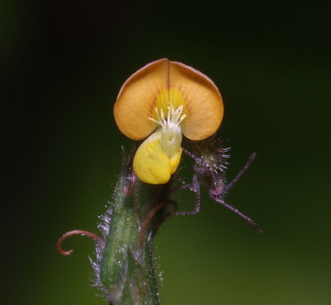 Stylosanthes angustifolia