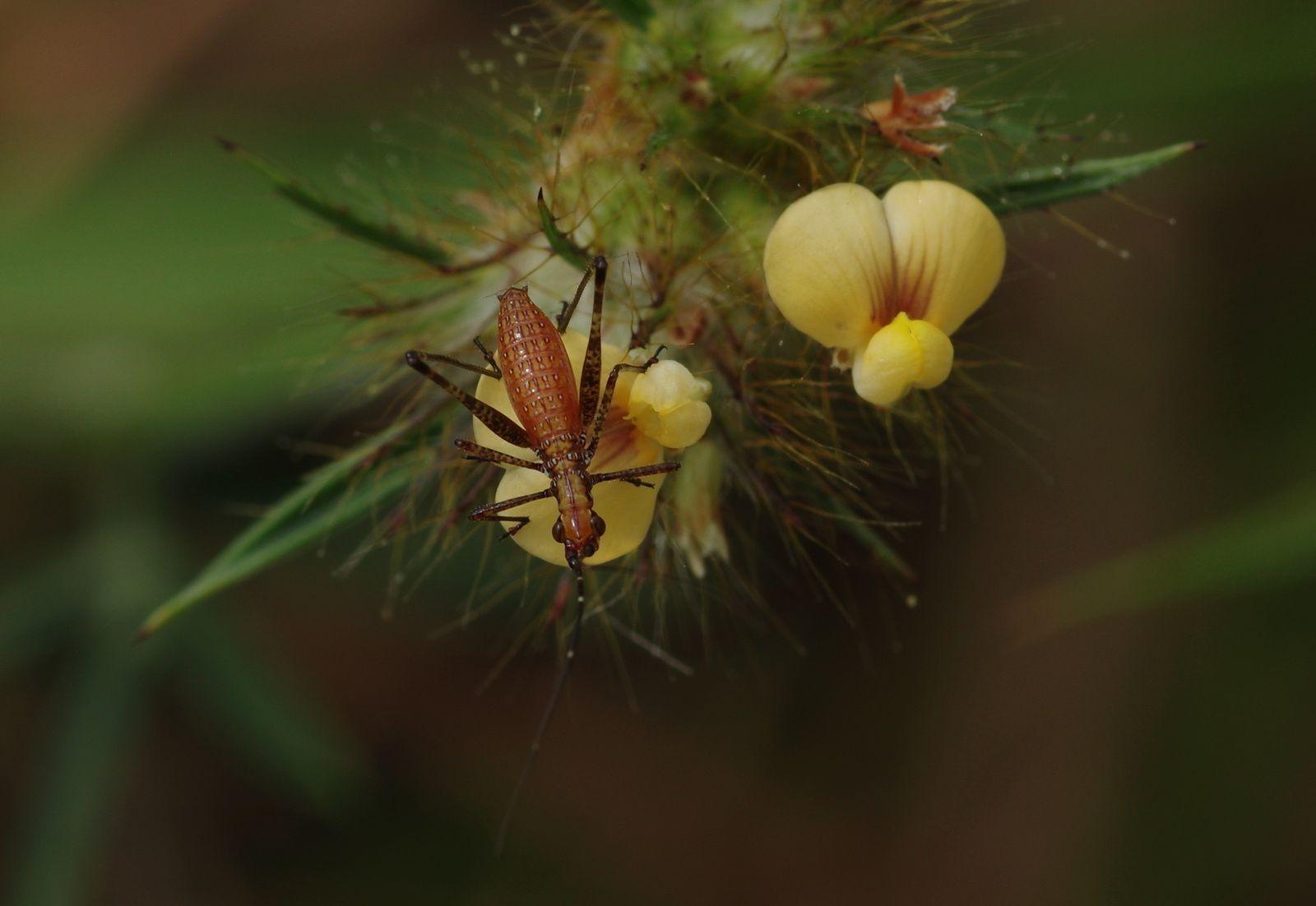 Stylosanthes gracilis