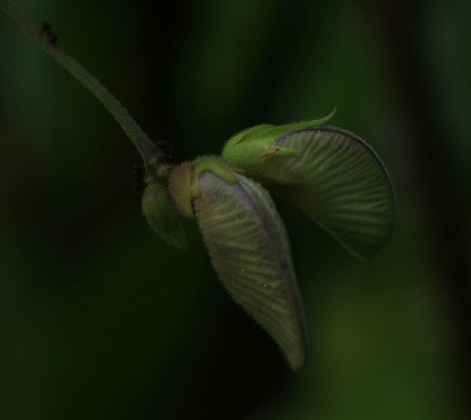 Centrosema pubescens
