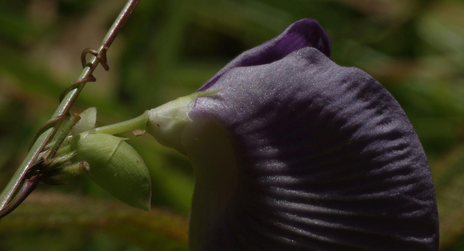 Centrosema brasilianum (foufoune)