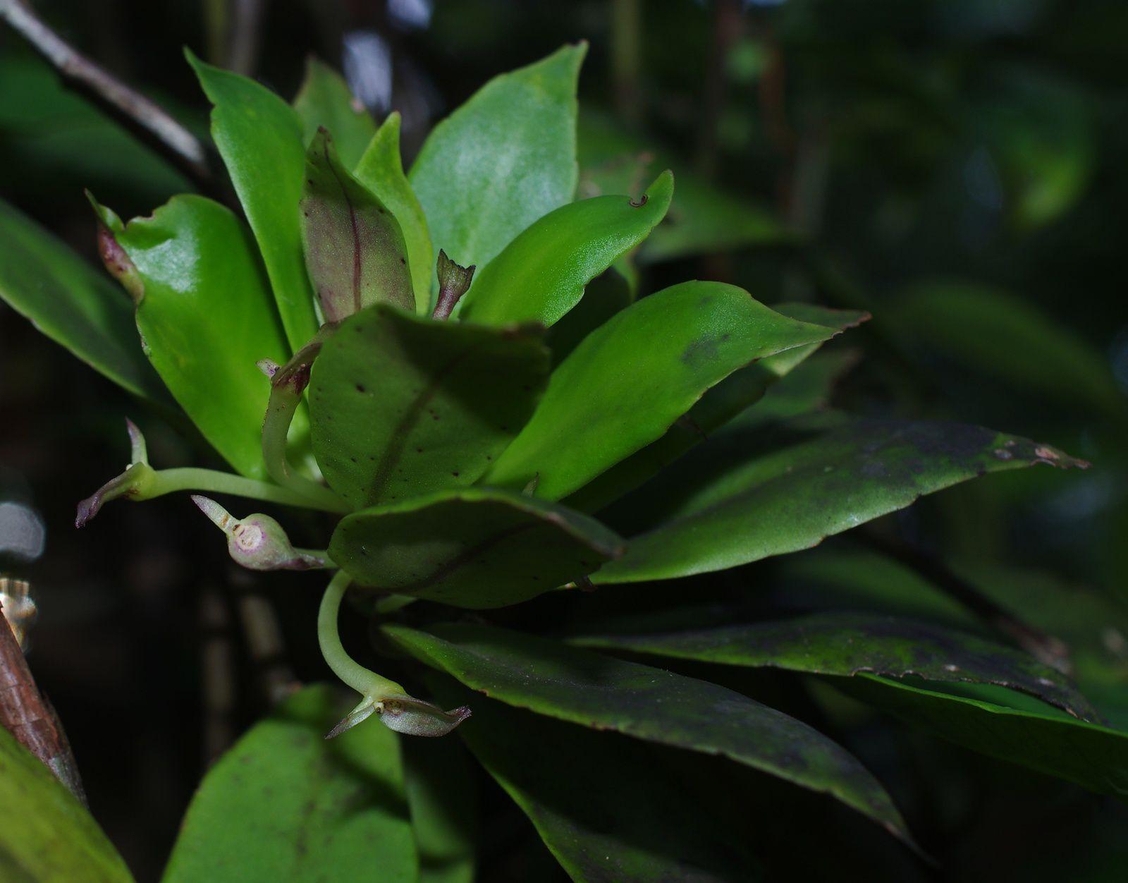 Codonanthe calcarata