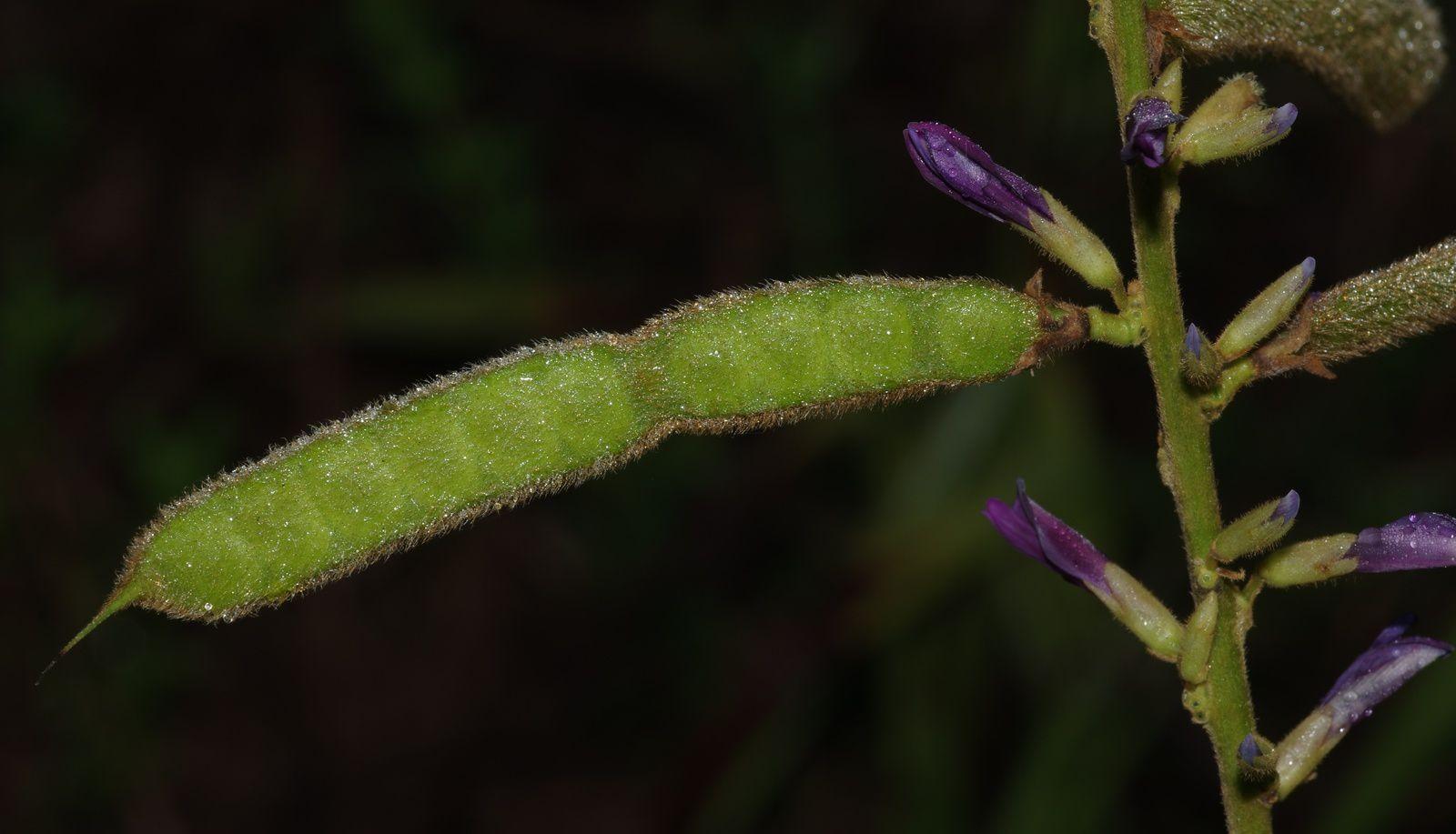 Calopogonium velutinum