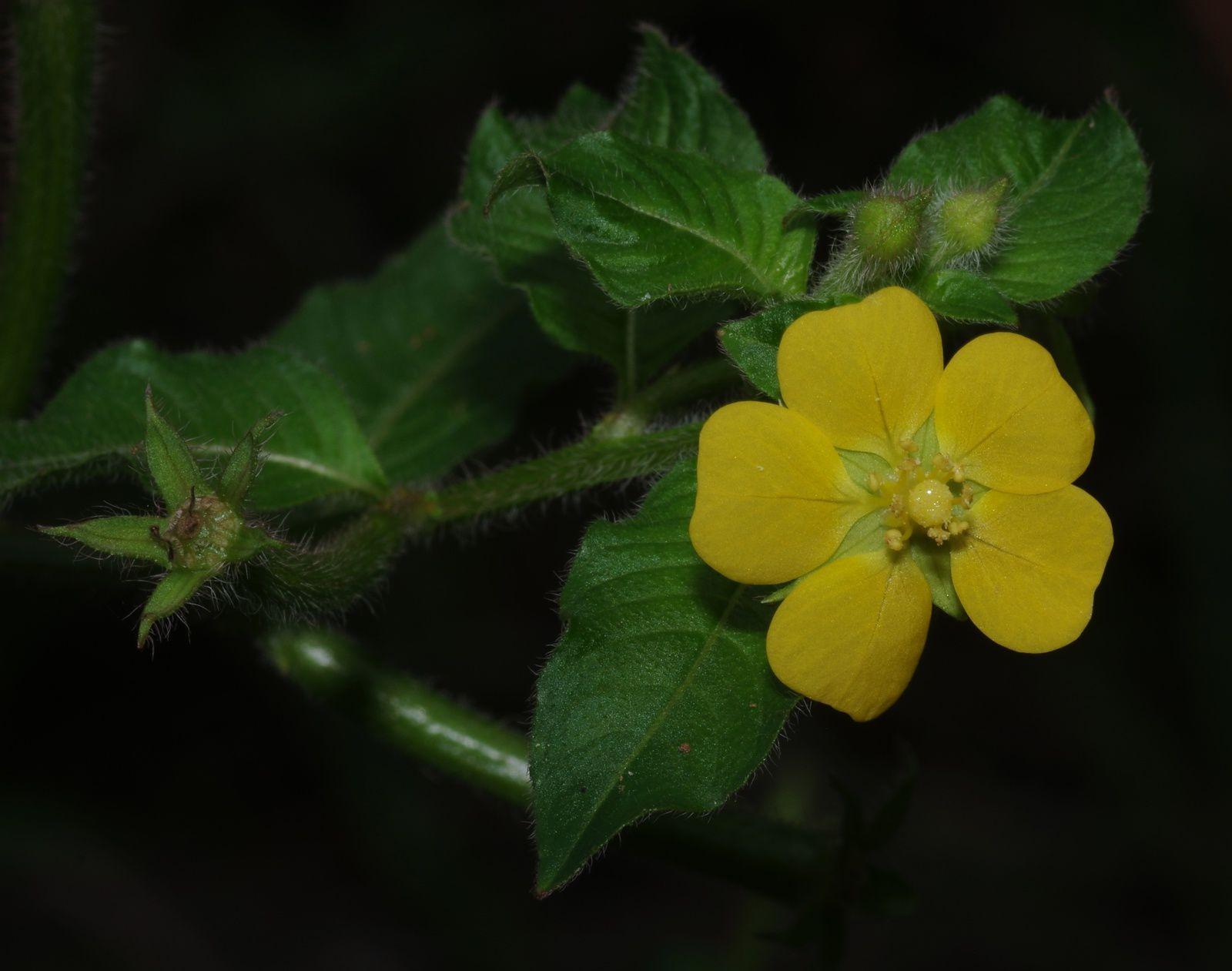 Ludwigia affinis