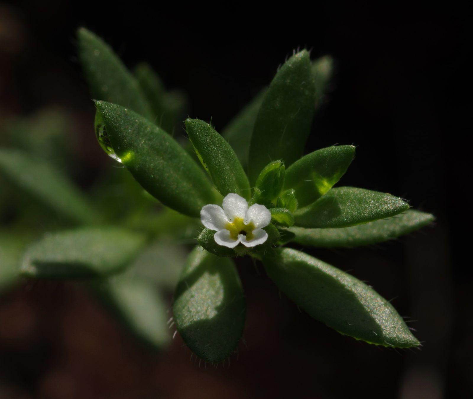 Euploca lagoensis