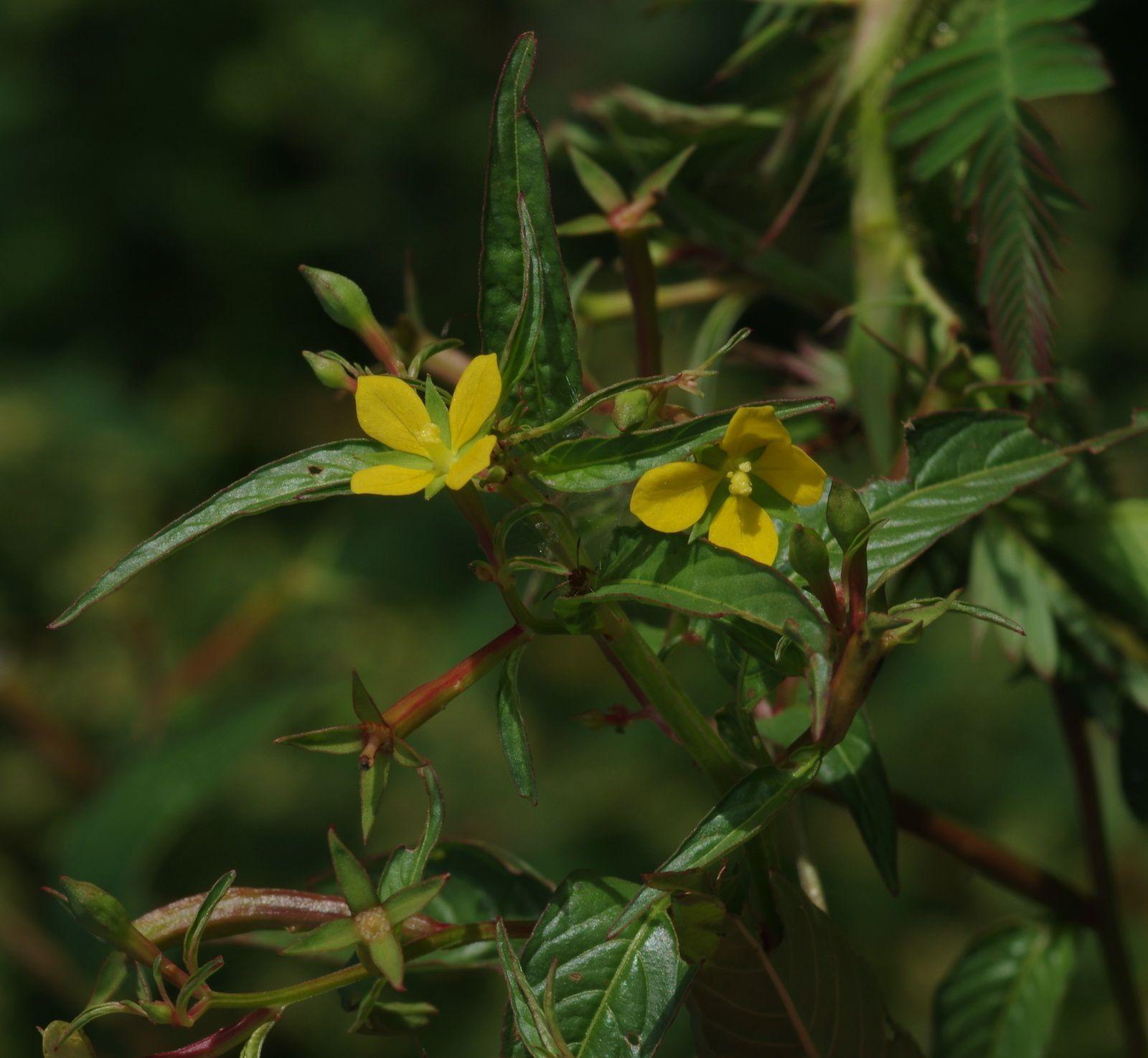 Ludwigia hyssopifolia
