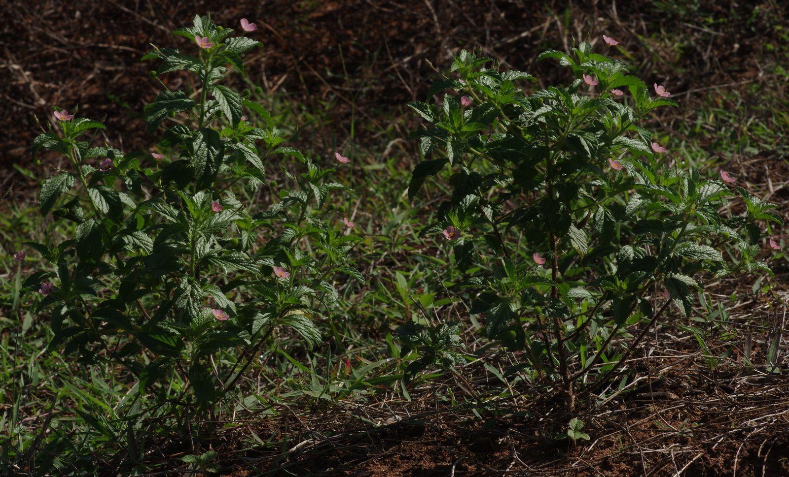 Piriqueta viscosa