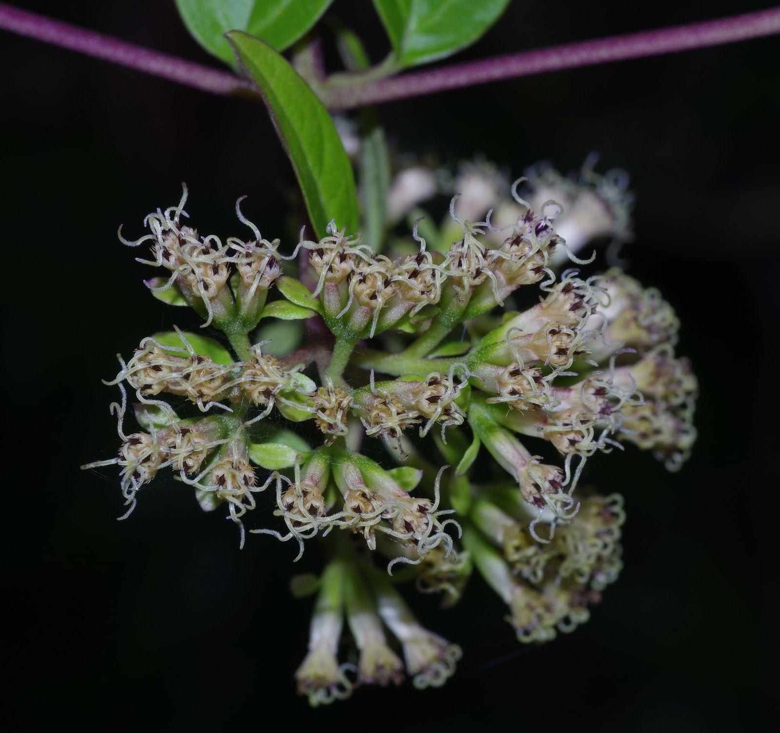 Mikania parviflora