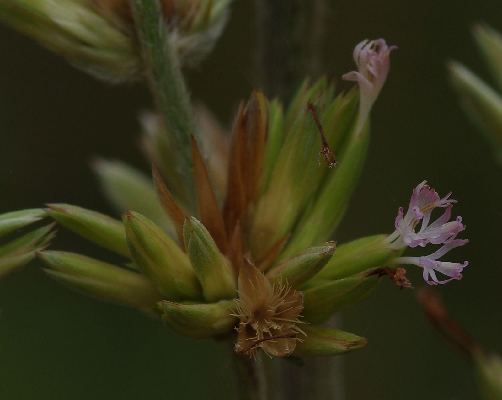 Orthopappus angustifolius