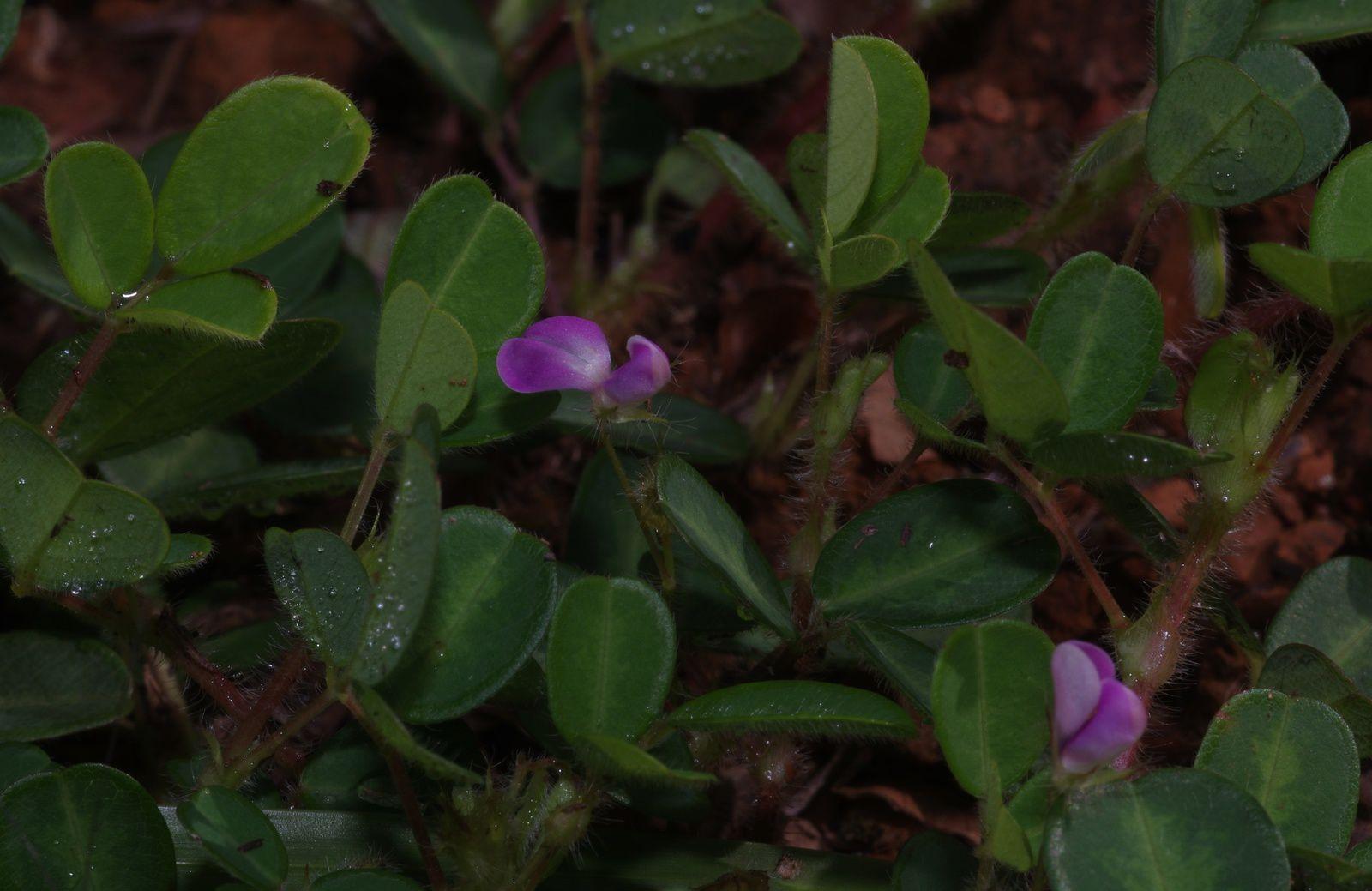 Desmodium heterophyllum