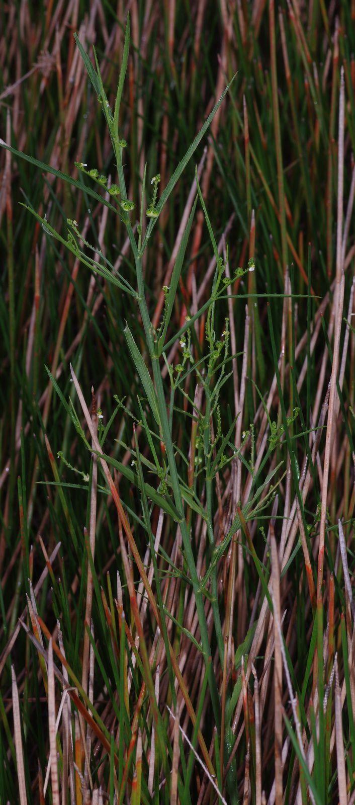 Caperonia stenophylla ?