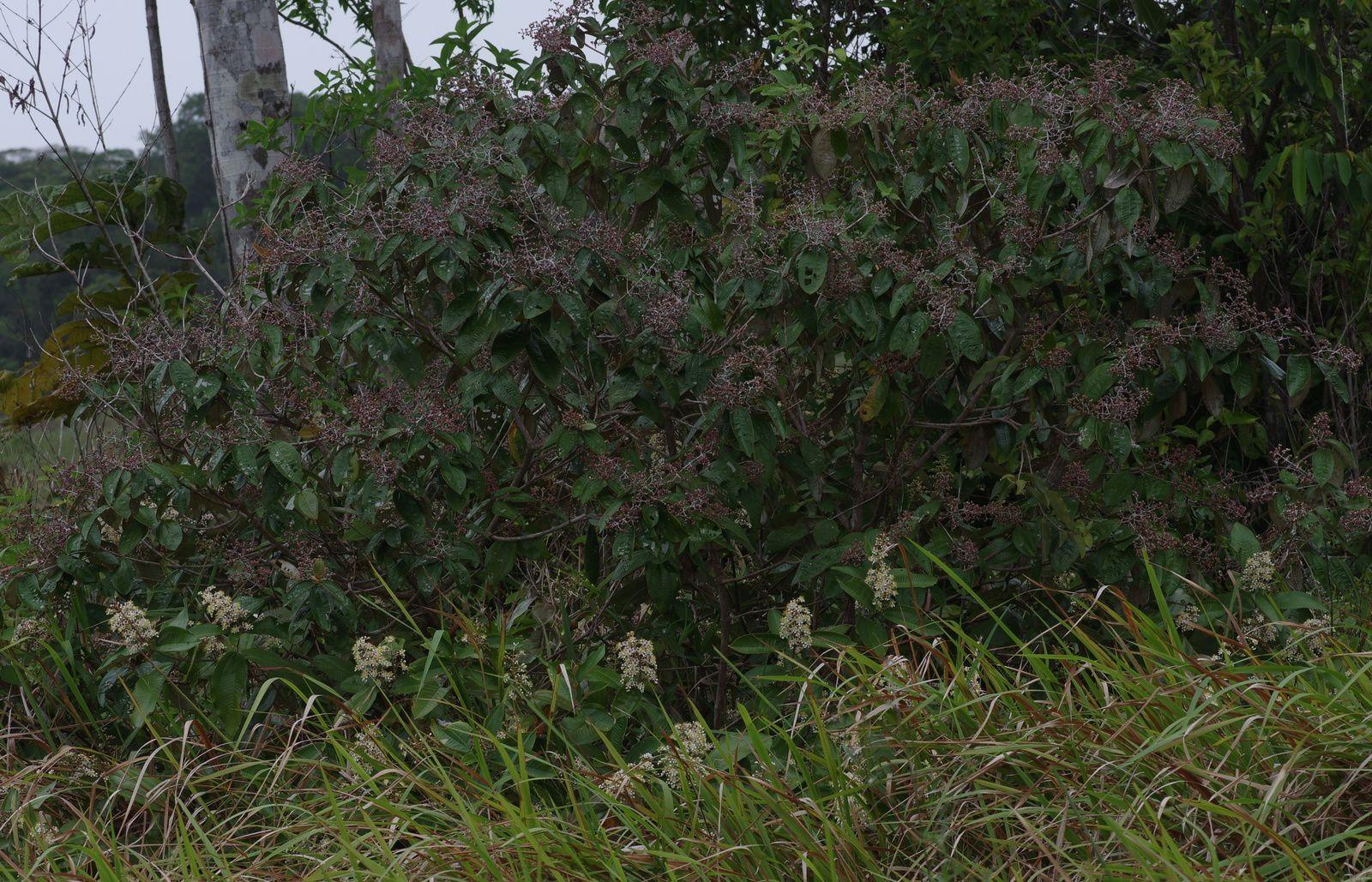 Miconia stenostachya