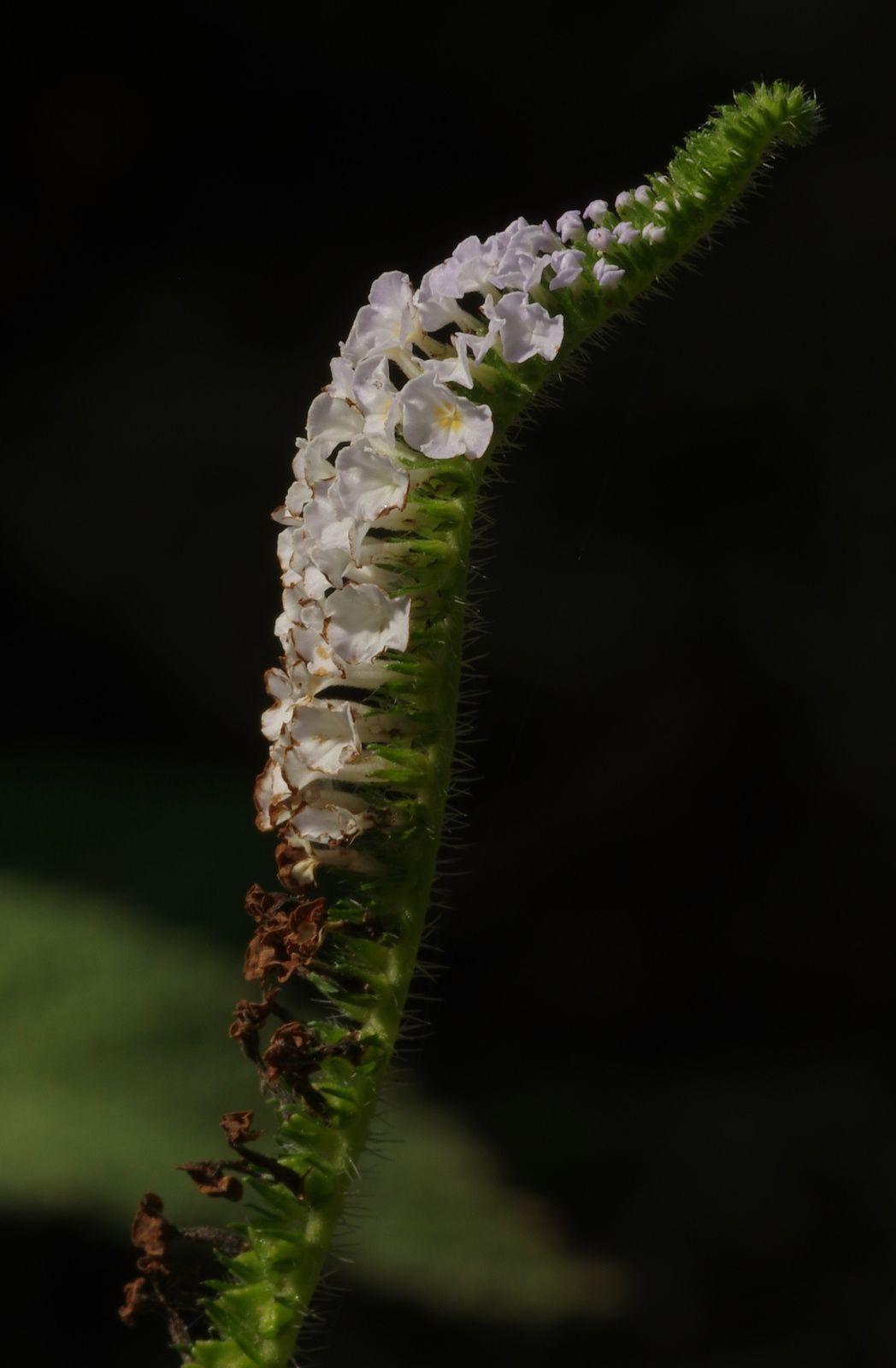 Heliotropium indicum (crête dinde, crête coq)