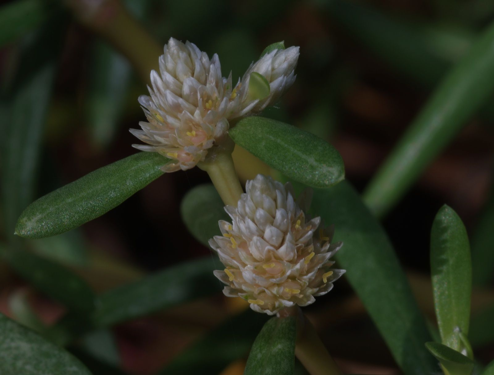 Blutaparon vermiculare (amaranthe bord-de-mer)