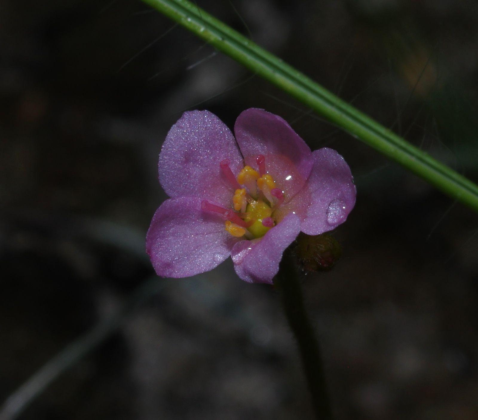Drosera cayennensis