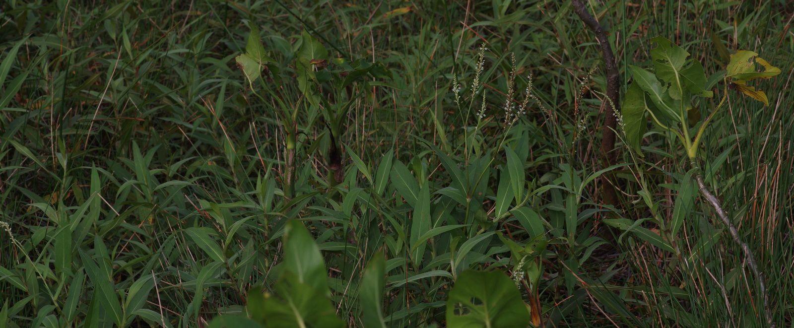 Persicaria acuminata
