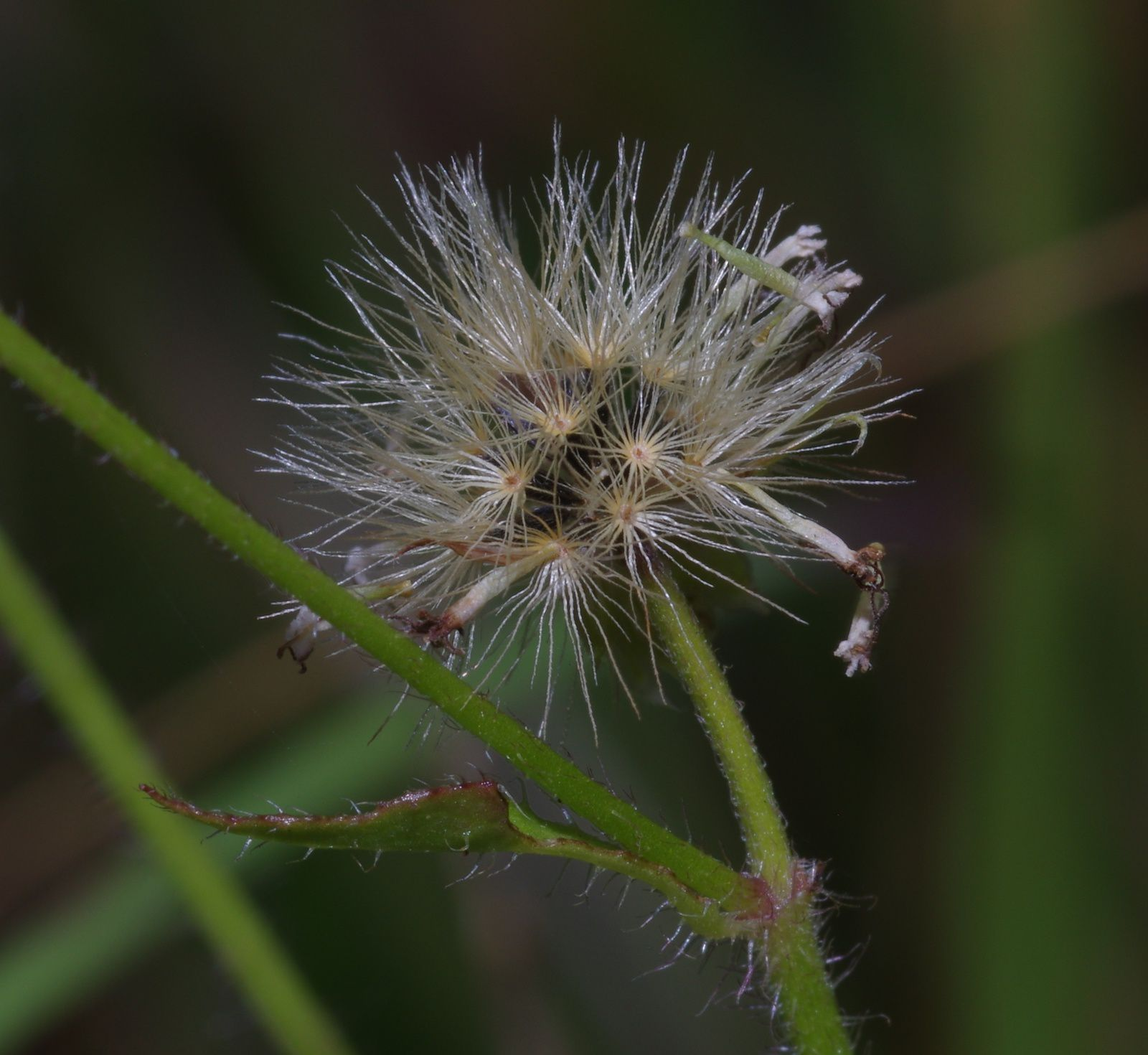 Praxelis diffusa