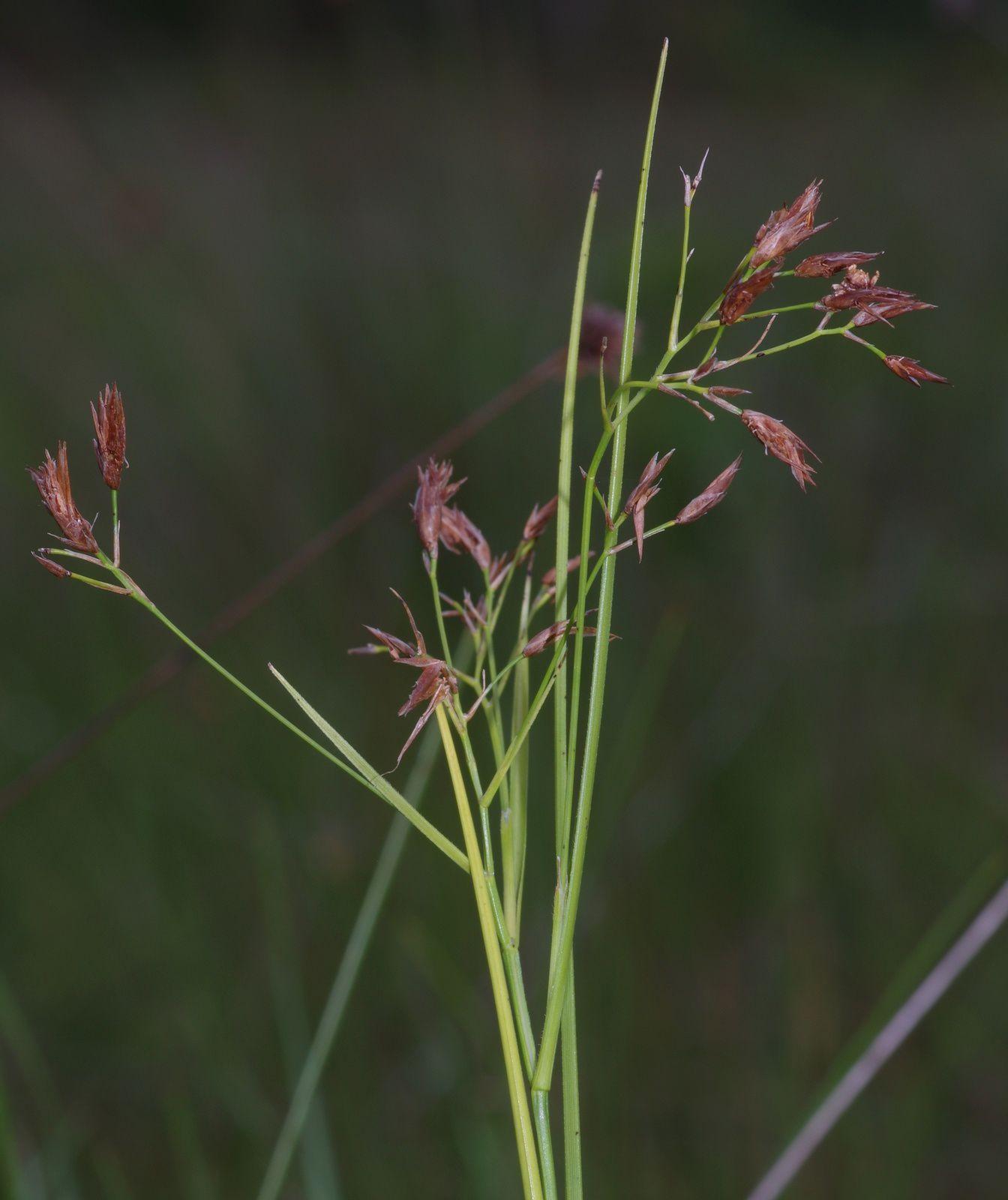 Rhynchospora cajennensis