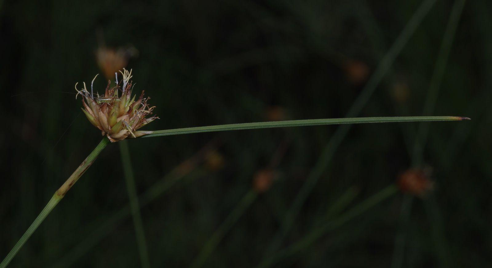 Rhynchospora globosa