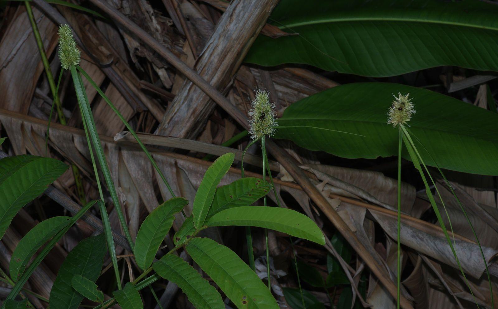 Rhynchospora cephalotes
