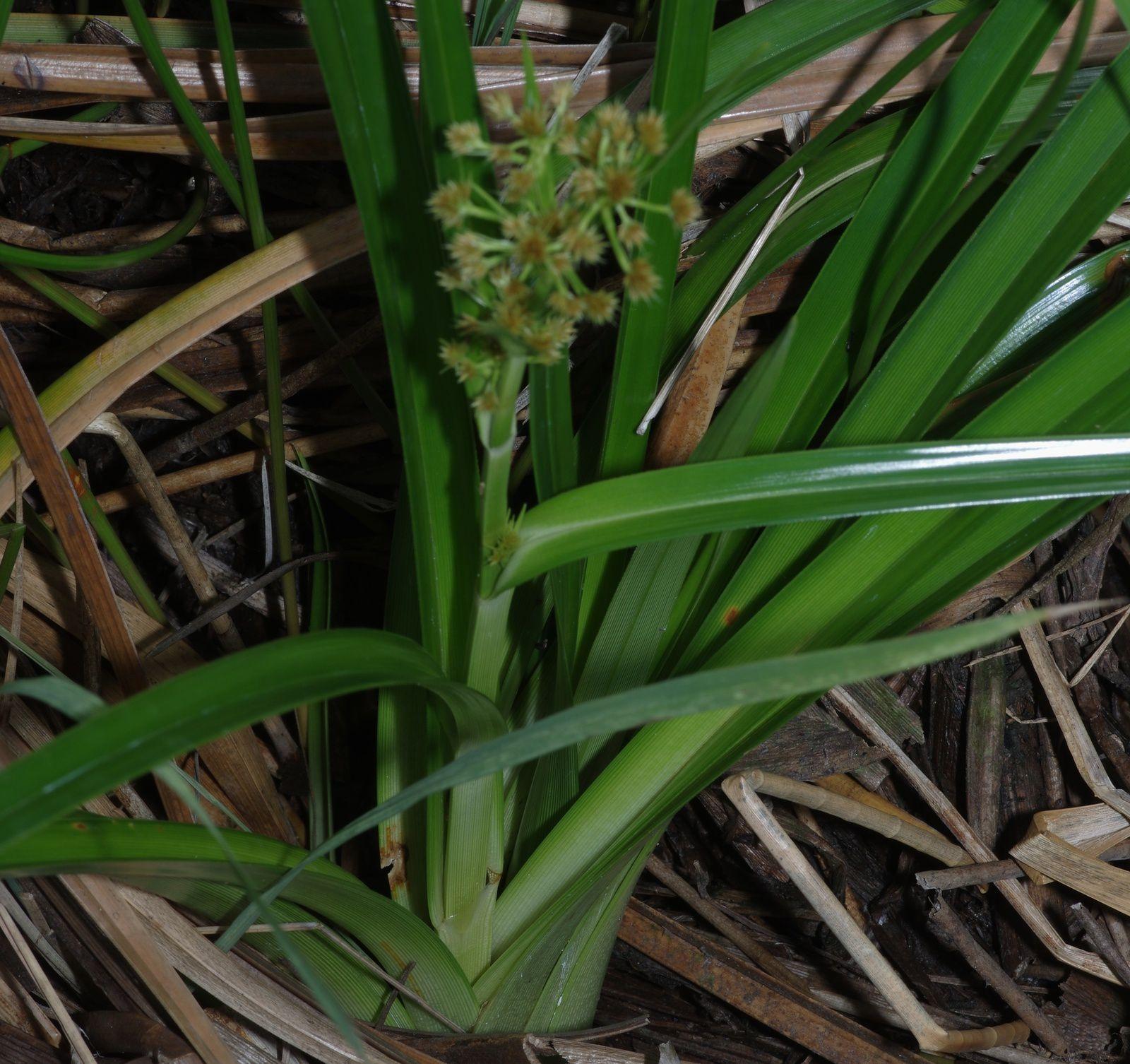 Rhynchospora gigantea