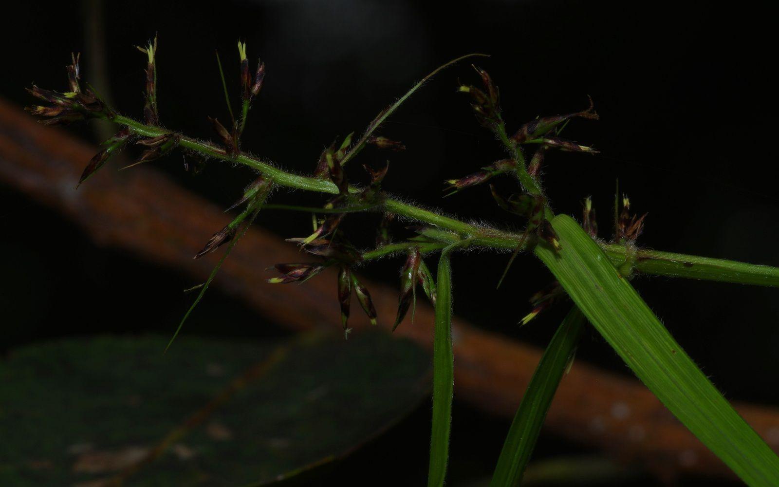 Scleria secans (herbe-rasoir, herbe-couteau)