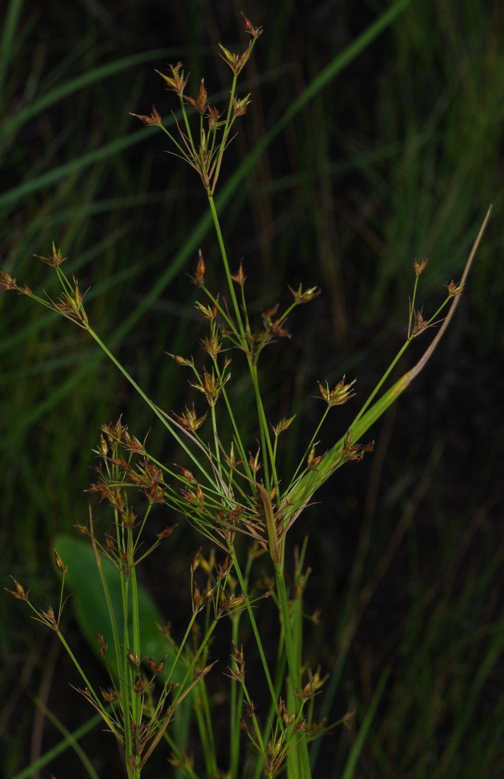 Rhynchospora triflora