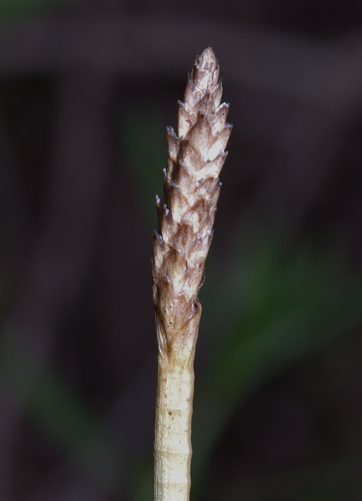 Eleocharis interstincta
