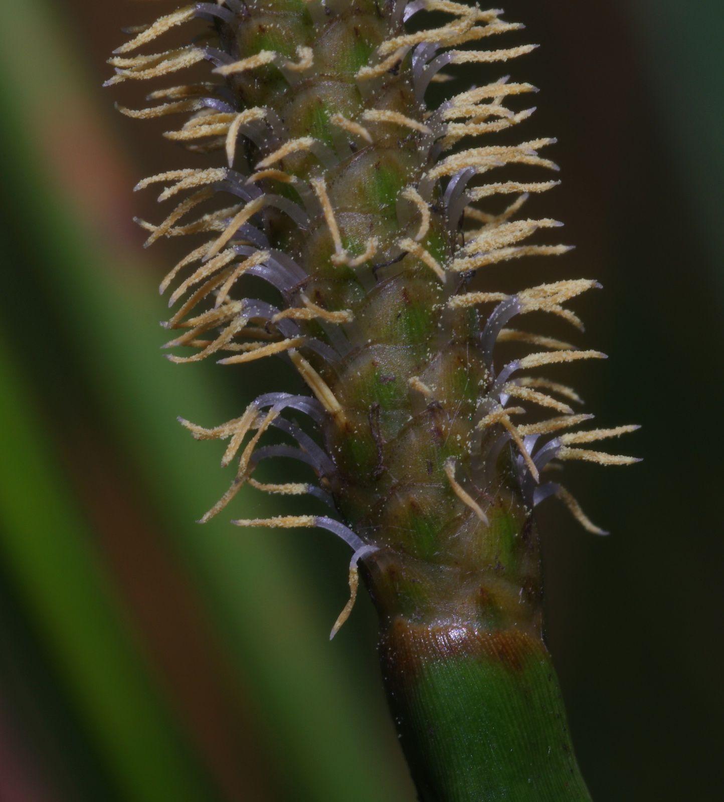 Eleocharis sp2