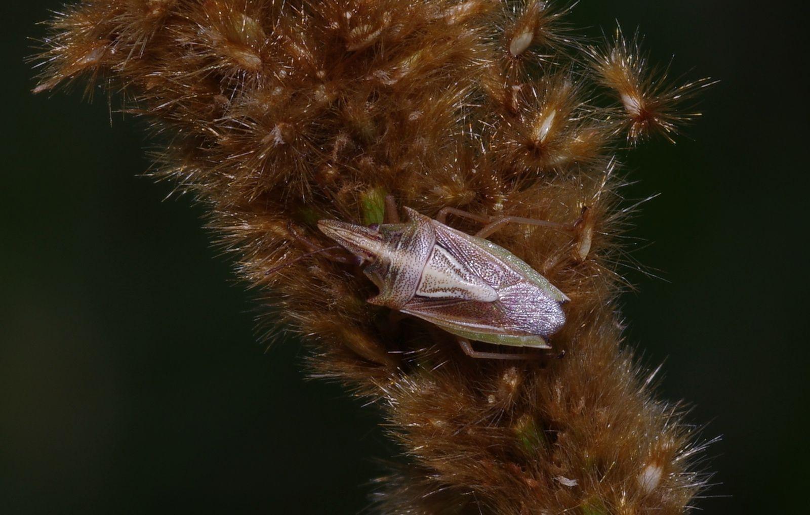 Eriochrysis cayennensis