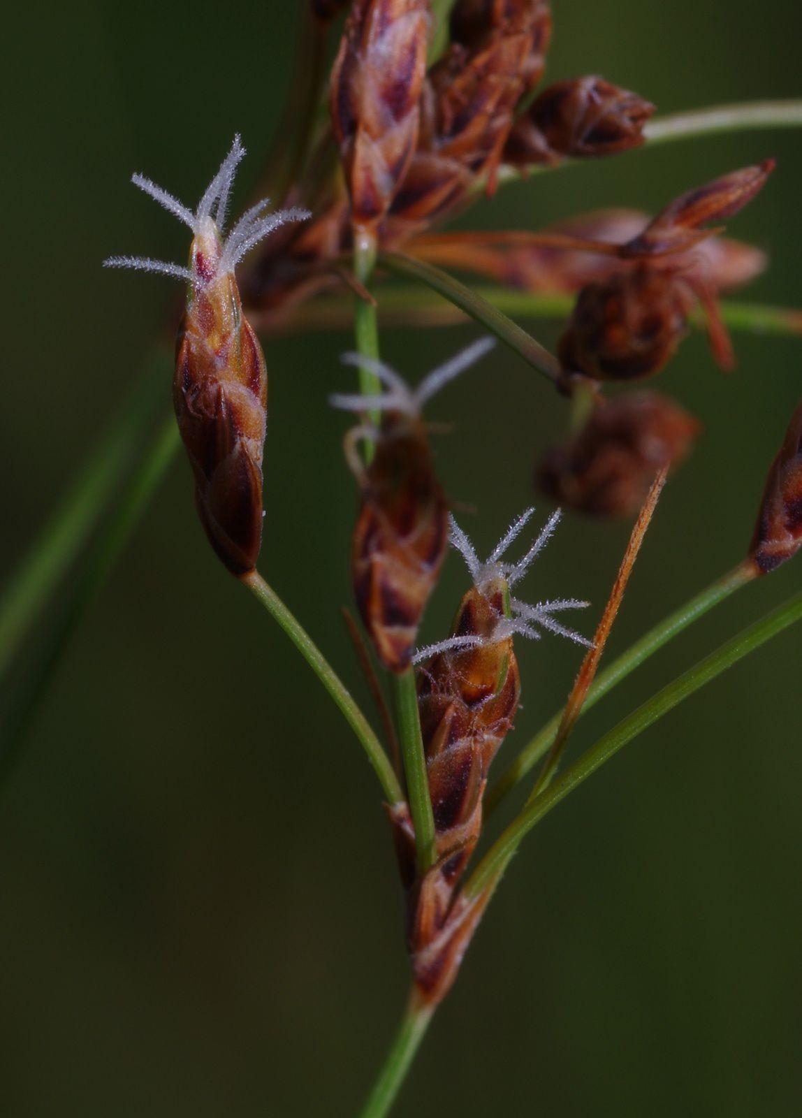 Bulbostylis juncoides