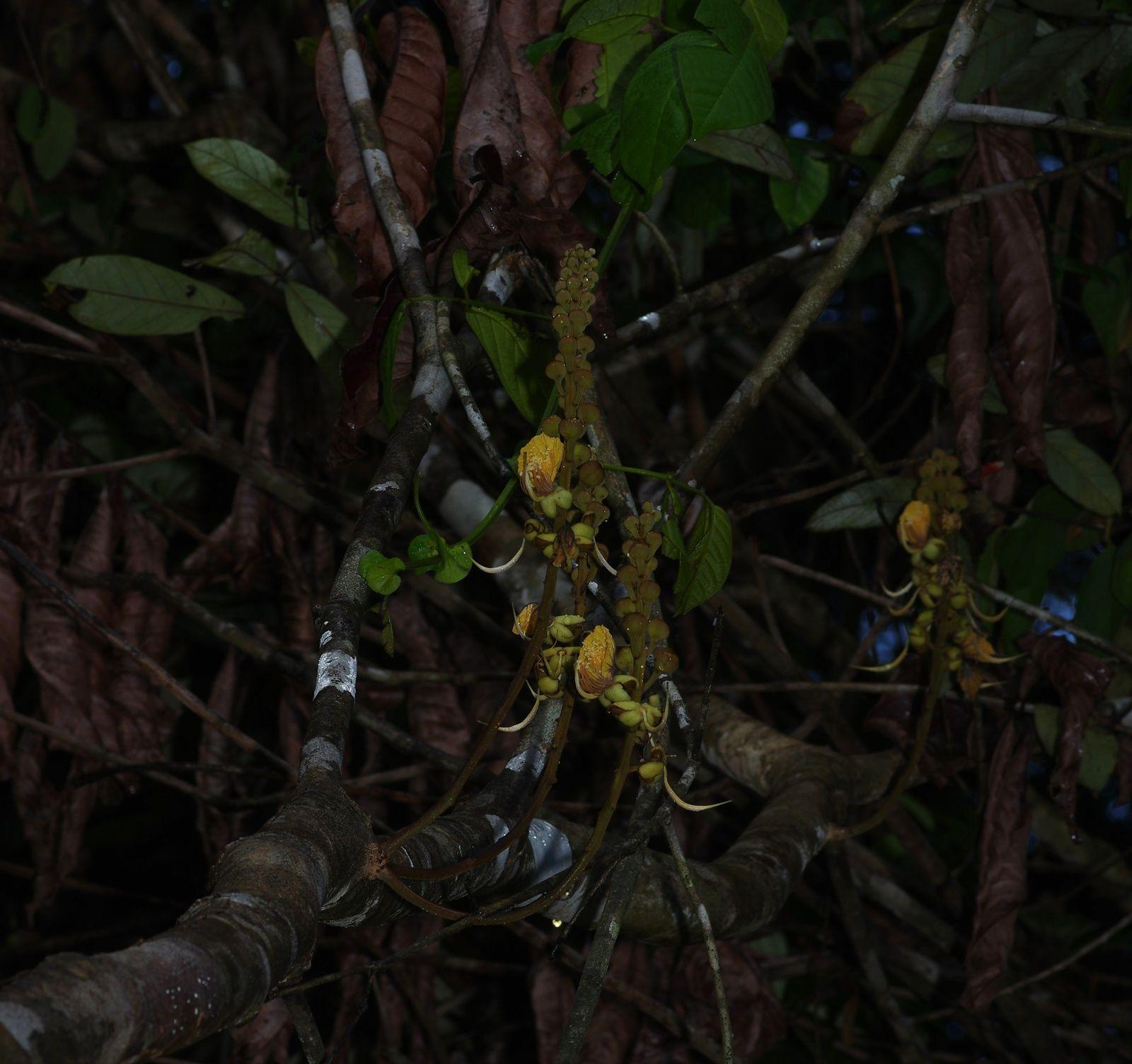 Swartzia grandifolia