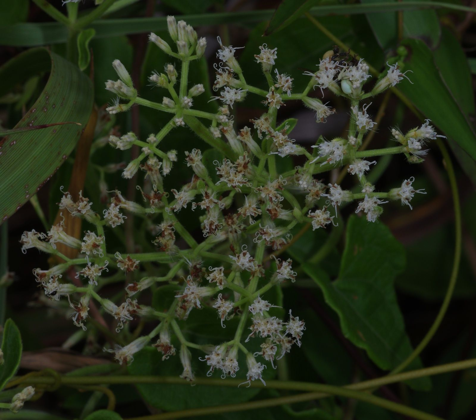 Mikania micrantha (baume céleste)